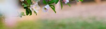 Panoramic View Of Apple Flower...