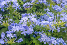 Plumbago Europaea, Also Known As The Common Leadwort, Is A Plant Species In The Genus Plumbago Found In The Mediterranean Basin And Central Asia