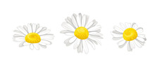 Daisy Isolated On White Background. Vector Illustration Of Three Chamomile Flower Heads In Cartoon Flat Style. Floral Icons.