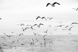 Different types of seagulls in the sky. Birds fly behind a fishing boat. Animals catch small fish. Black Sea. Spring, day, overcast. - 336381320