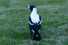 Australian Magpie Full Body Shot Showing White And Black Plumage And Feathers