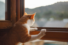 Orange Cat Looking Out The Win...