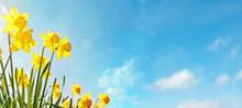 Spring Flower Background Daffo...