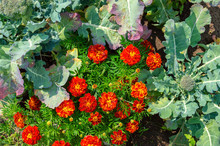 White Cabbage And Marigold Flowers Grow Together In The Garden. Top View