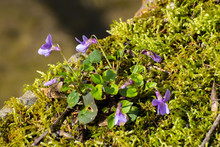 Close Up Of A Wild Growing Violet Growing Between Moss On A Wall, Viola Reichenbachiana