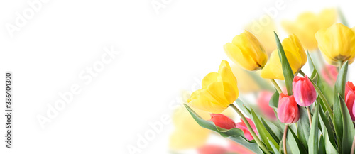 Obraz na plátně Closeup of tulip bouquet in garden isolated on white background