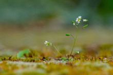 Macro Of Whitlowgrass Growing Between Moss And Lichen On A Sandstone Wall, Erophila Verna