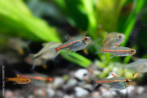 Leinwand Poster Tropical aquarium fishes Glowlight tetra or Hemigrammus erythrozonus, silver in colour and a bright iridescent orange to red stripe