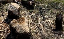 Castor Fiber Beaver European Felling Trees By Biting Gnawing Teeth Trunks Eats Tree Bark And Also Builds Dikes Where Stump Fallen Poplar Trees On Dike Pond