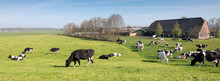 Black And White Cows Under Blu...
