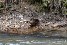 Female Mallard Duck Resting On...
