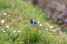 Grape Hyacinth In Bloom On A Grass Verge
