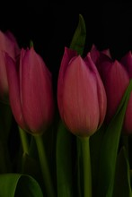 Closeup Vertical Shot Of Purple Tulips With A Black Background