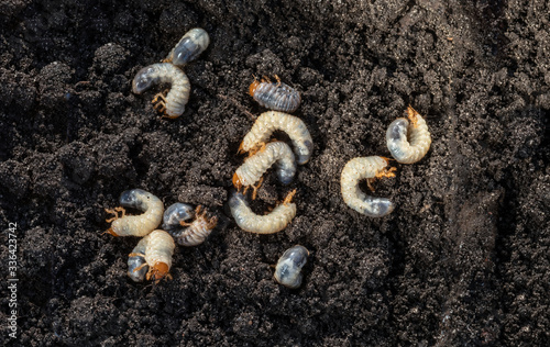 Valokuva White chafer grub against the background of the soil
