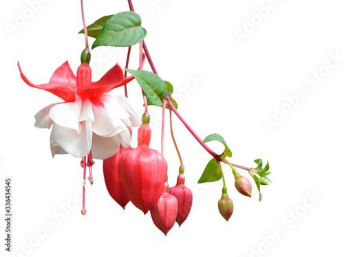 Valokuvatapetti fuchsia lena flower