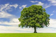 Single Big Oak Tree In Field W...