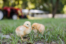 Two Baby Free Range Chicks Outside On A Farm With A Tractor And Barn In Background With Room For Text