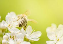 Honey Bee Pollinating   Backgr...