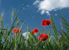 Beautiful Red Poppy Field In Spring. Poppies On Green Field. Rural Landscape With Red Wildflowers