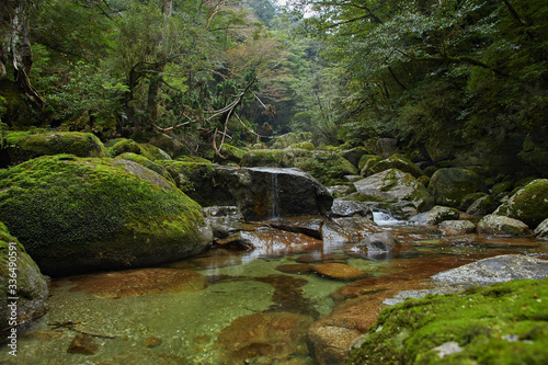 Fototapety, obrazy: Yakushima, ancient forest, cedar forest, Kagoshima, enchanted forest. osumi island, kyushu, Natural World Heritage Site, sugi