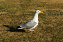 A Seagull Walking In The Grass
