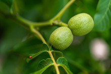 Green Walnut Fruits Hanging On...