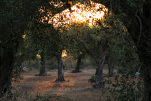Olive Tree At Golden Hour In Salento