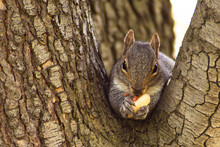 Squirrel In The Tree Eating Peanut