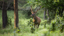 Dominant Red Deer, Cervus Elap...