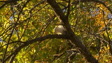 Fox SquirrelAlbino White Eating Acorn Nut In Tree Branch In South Dakota