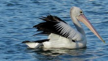 A Pelican Glides Across The Wa...