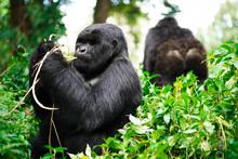 Gorillas Feeding, Rwanda