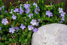 Purple Blue Flowers Of Periwinkle (vinca Minor)