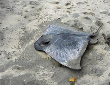 Dead Stingray Washed Up On A Sandy Beach In New Zealand
