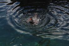 High Angle View Of Inca Tern Swimming On Sea