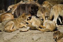 Timberwolf Oder Amerikanischer Grauwolf Rudel (Canis Lupus Lycaon)