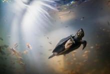 Indian Black Turtle Underwater...