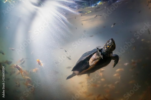 Indian black turtle underwater, Sri Lanka Canvas Print