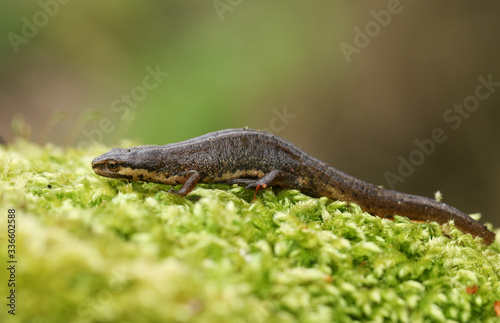 Fotografía A Common Newt, Triturus vulgaris, also known as Smooth Newt on moss in springtime