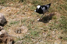 Black Smith Plover Standing N...
