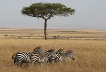 Some Zebras With Acacia Tree In The Background