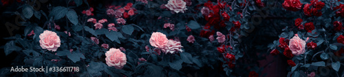 Fotografia Blooming pink and red roses flowers in mystical garden on mysterious fairy tale
