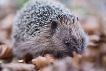 Injured Hedgehog (Erinaceinae)...