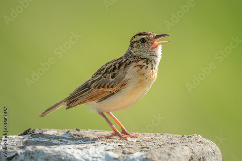 Rufous-naped lark sings on post facing right Canvas-taulu