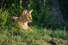 Serval Lies In Sunny Grass Looking Right