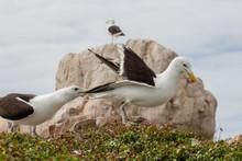 Medium Shot Of A Seagull Pulli...