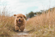 Brown Poodle Puppy Dog Running On The Grass
