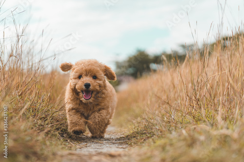 Photographie Brown poodle puppy dog running on the grass