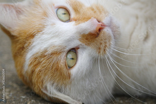 猫の顔 Canvas Print