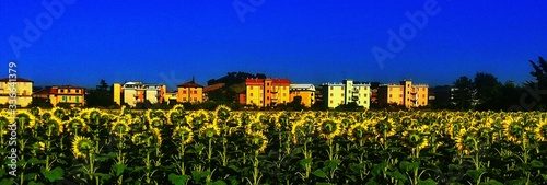 Crop Of Sunflowers With Houses In The Background Fototapet